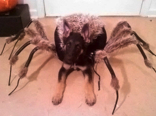 This is a picture of a dog's Halloween costume that's doing the rounds on Facebook. Imagine seeing this running to greet you.
