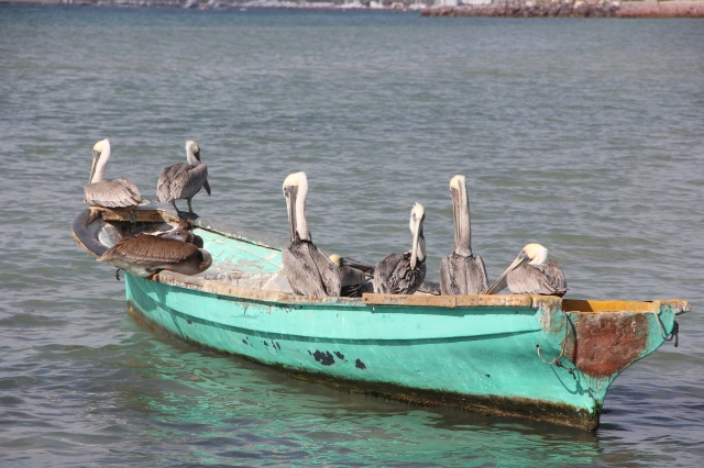 You don't have to wait too long to see a pelican here. They're in abundance