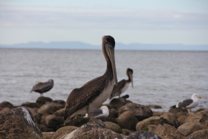 Chilling on the rocks in Baja. Not the prettiest of birds.