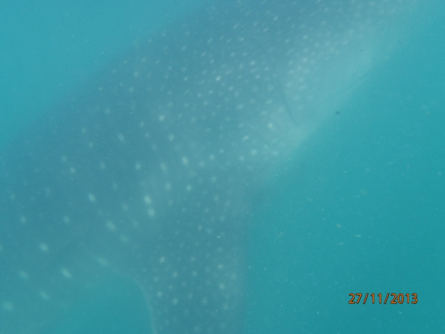 Max took this photo of a shark's pectoral fin. We couldn't get far enough away to take a photo of a whole whale shark.