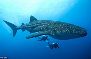 The water as murky yesterday and we couldn't see a whole whale shark all at once. Here's a photo, downloaded from the internet, that shows the relative size of a whale shark. Copyright Alamy.