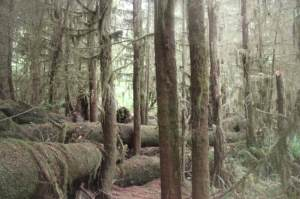 The rainforest next to Quinault Lake