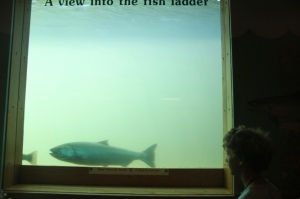 Max is watching a chinook salmon through the fish ladder window, from a downstairs viewing hall.