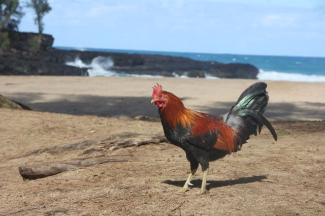 You can't escape the chickens, even on the beach