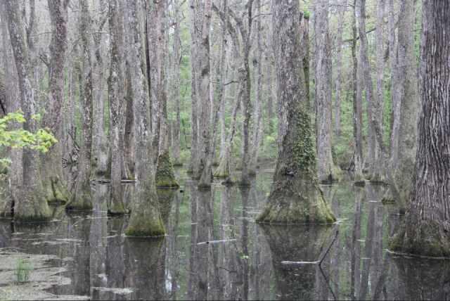 IMG_0451 swamp trees