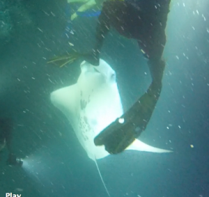 Individual manta rays are identified by the black markings on their undersides.