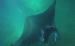 Cephalic fins (devil horns) guide zooplankton into manta rays' open mouths