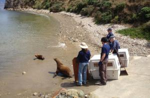 Rehabilitated sea lions being released