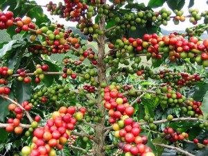 Coffee cherries ripening on the tree