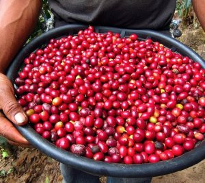 Only the reddest, ripest cherries are picked for the best quality coffee