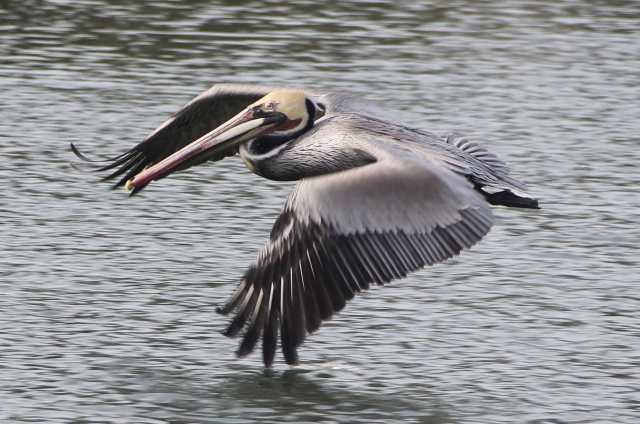 A brown pelican on the move