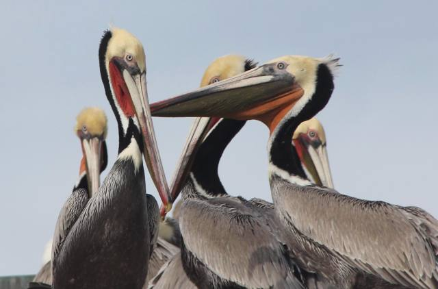 Brown pelicans on the roof of a restaurant