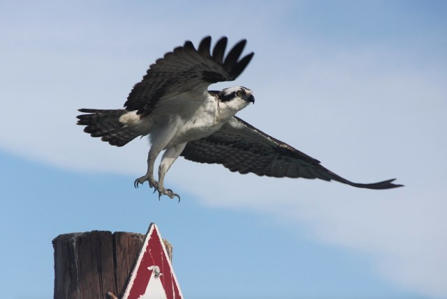 An osprey taking off (Max has written about ospreys on http://mnatx.tk/1OEJQoI.