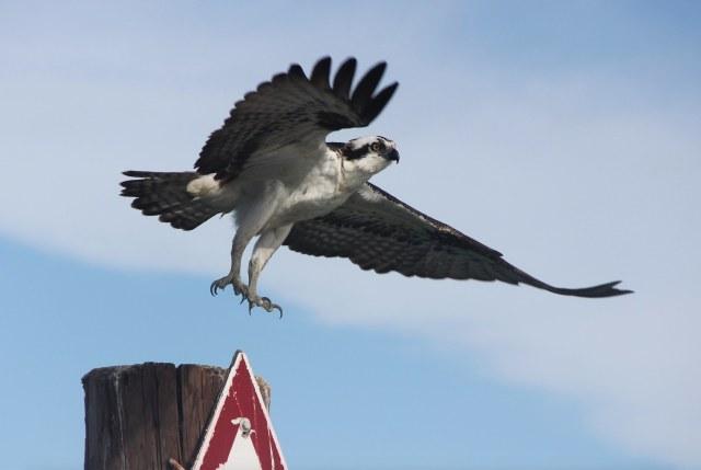 An osprey taking off (Max has written about ospreys on http://mnatx.tk/1OEJQoI.