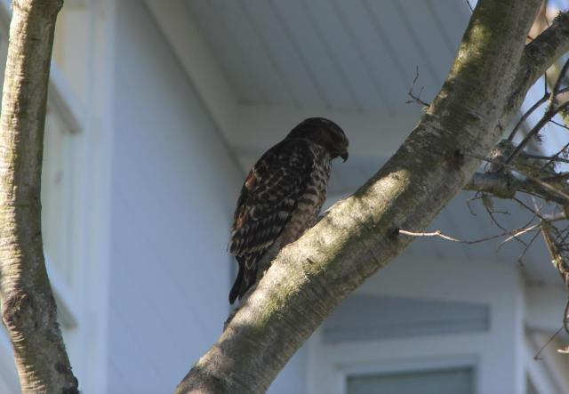 A red shouldered hawk was sitting in a tree in our garden