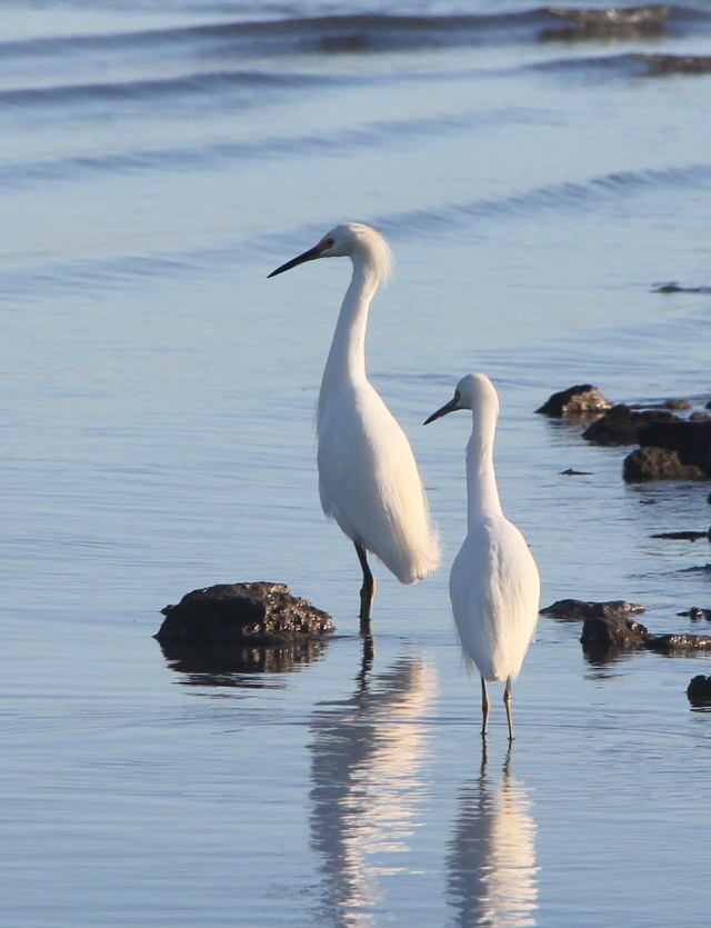 Snowy egrets wading along the shore